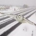 Pour ceux qui ont manqué l'harfang des neiges capté par une caméra du MTQ