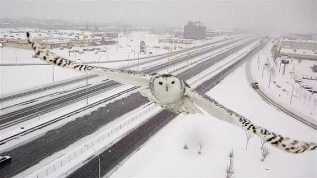 Harfang des neiges, Montréal, autoroute 40